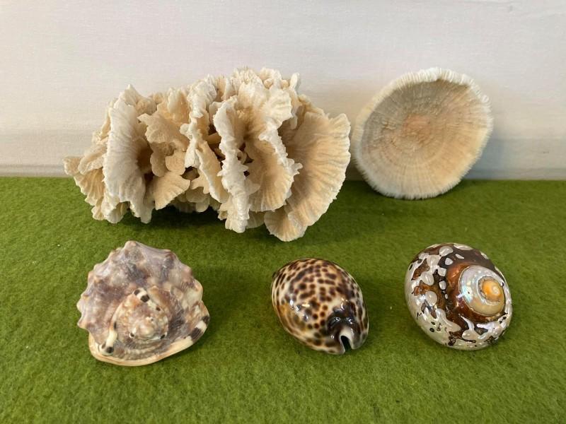 Lot van 2 koralen en 3 schelpen
