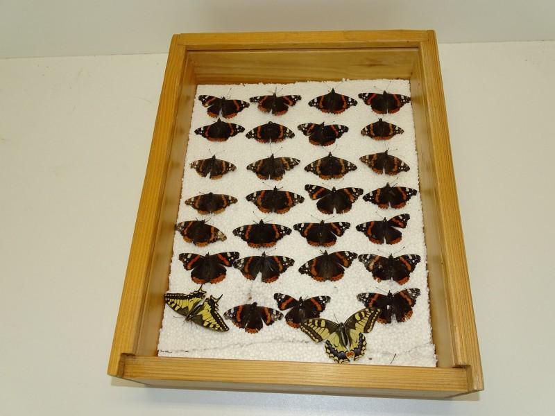 Houten Bak met 29 Opgezette Vlinders