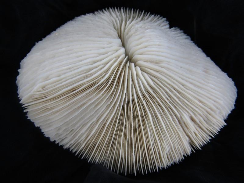 Fungia Fungites / Paddenstoel Koraal