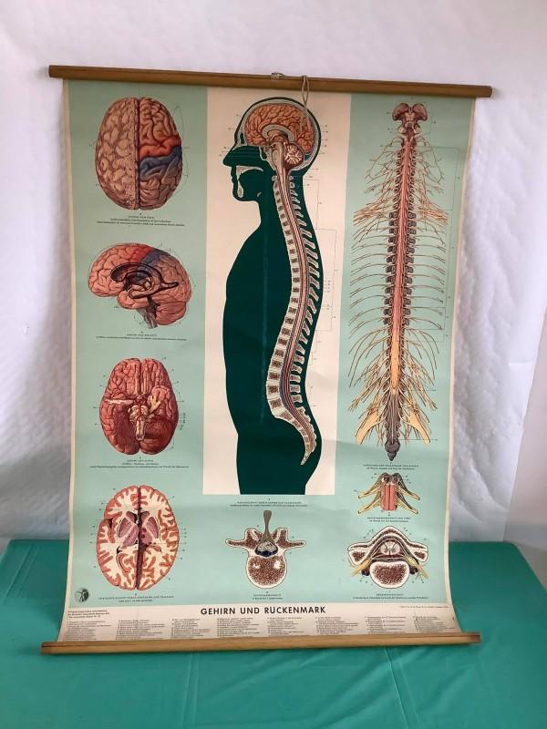 Oude schoolprent over de hersenen en de ruggengraat