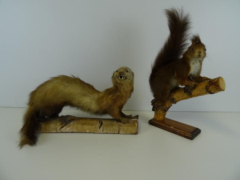 taxidermie : eekhoorn en wezel