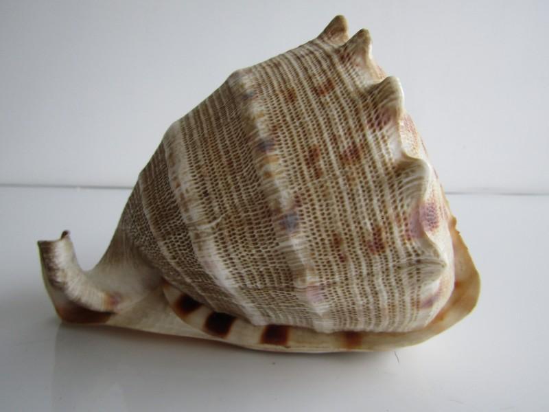 Grote Zeeschelp: Casis Cornuta