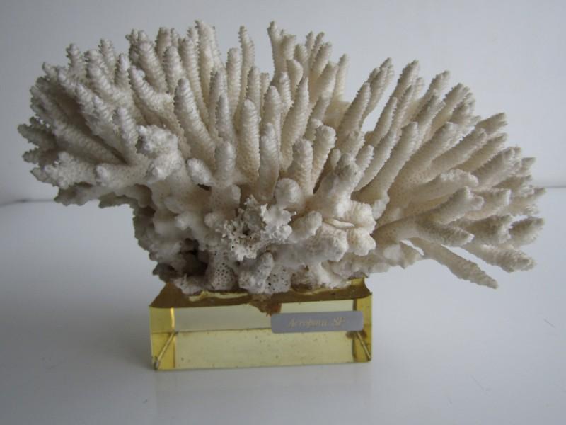 Koraal: Acropora SP