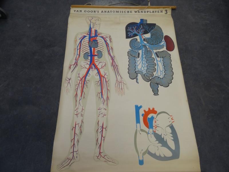 Antieke Wandplaat: Van Goor's anatomische wandplaten 3
