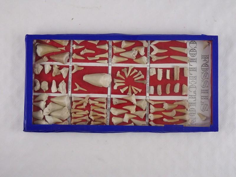 Collectie fossielen. Deze zijn gekleefd in een doosje.