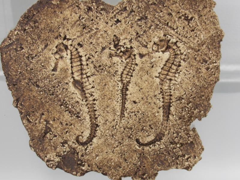 Drie fossielen van zeepaardjes