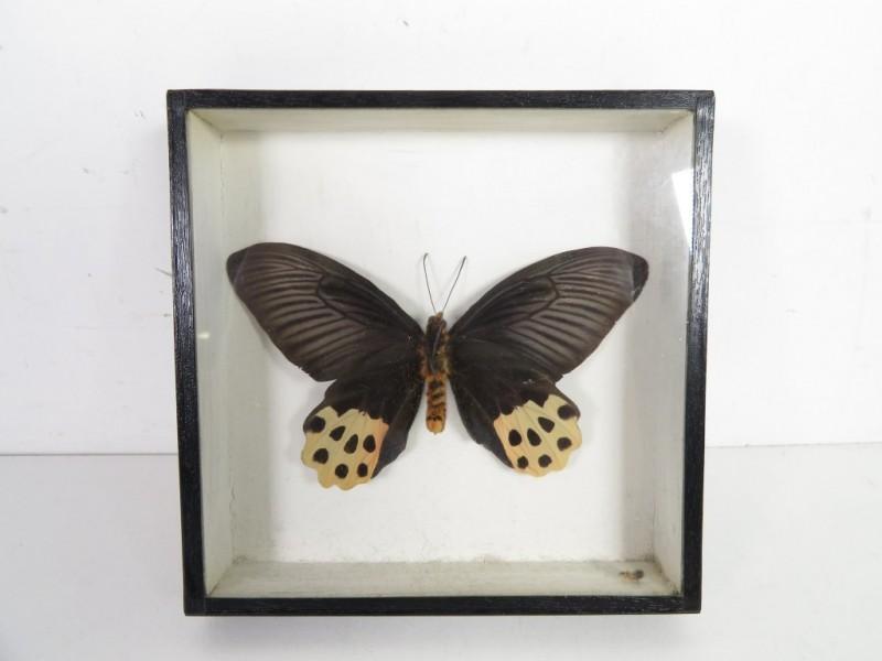 Vlinder in kader
