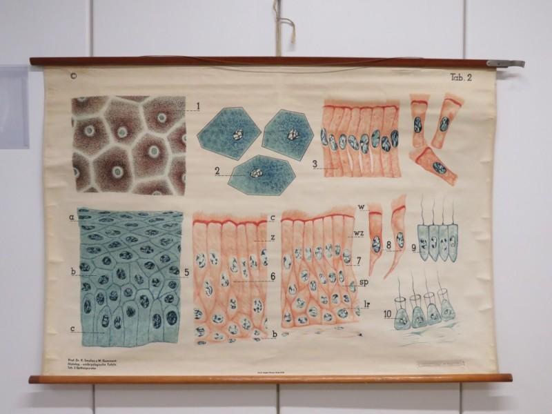Schoolkaart - Epitheliumweefsels